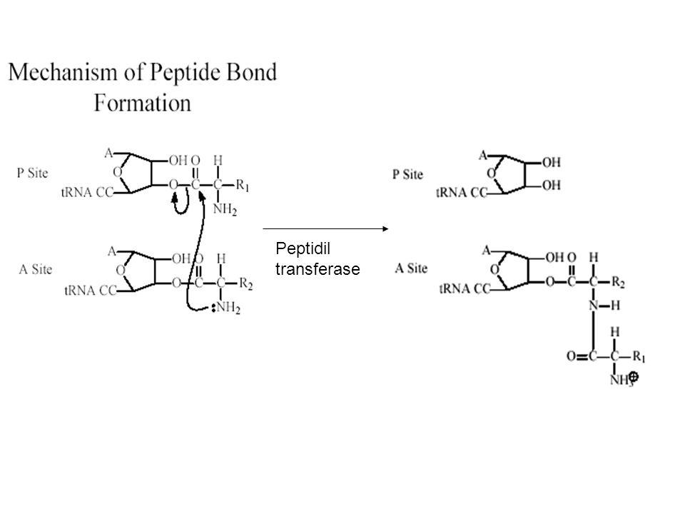 Peptidil transferase