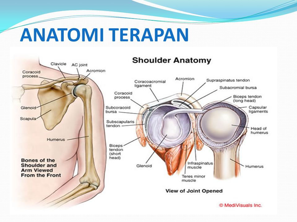 1. GLENOHUMERAL JOINT ( humeral joint/ shoulder joint) humeral jointshoulder joint