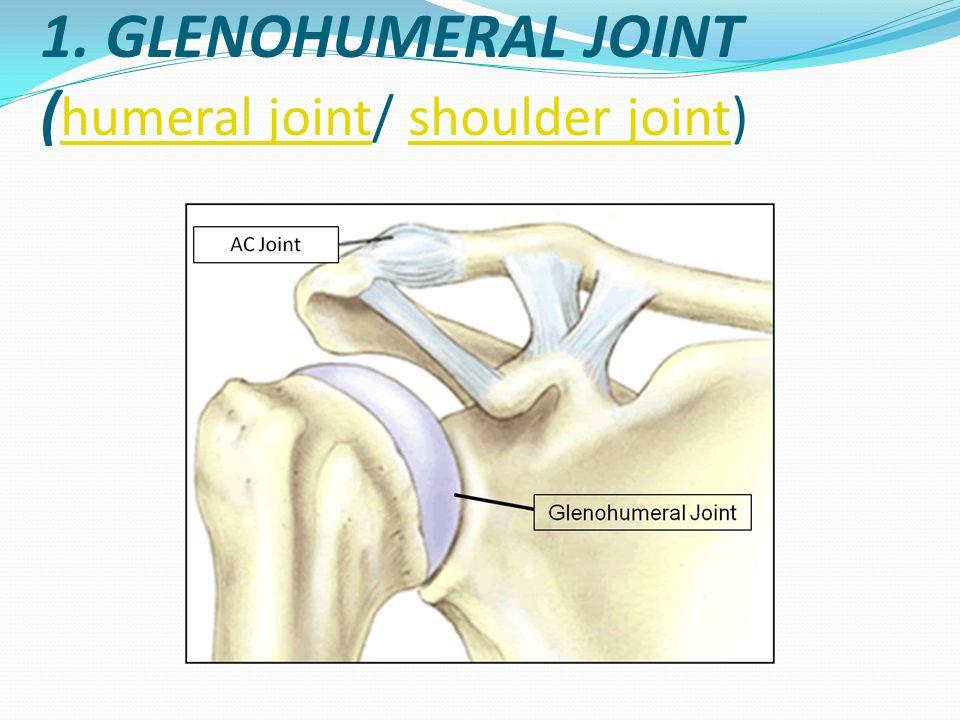 'Ball and socket joint' dibentuk oleh glenoid cavity Skapula yg concave landai menghadap kelateral serong cranio-ventral dan caput humerus yg convex.