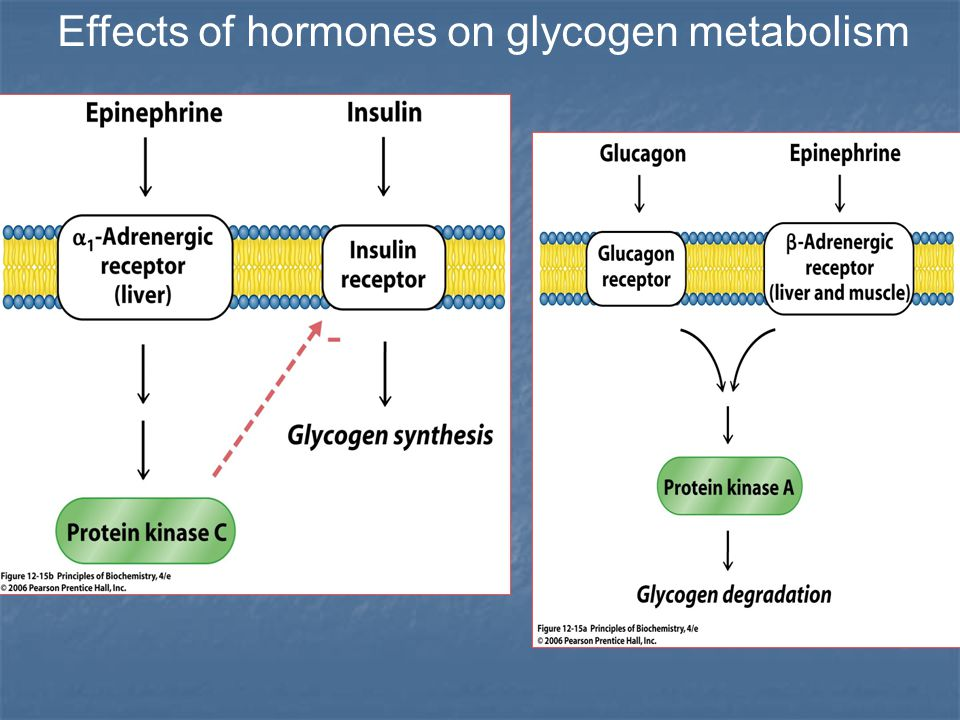Effects of hormones on glycogen metabolism