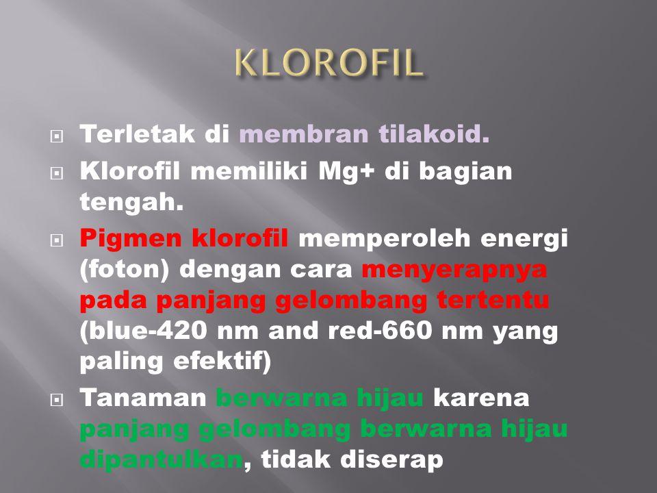  Terletak di membran tilakoid.  Klorofil memiliki Mg+ di bagian tengah.  Pigmen klorofil memperoleh energi (foton) dengan cara menyerapnya pada pan