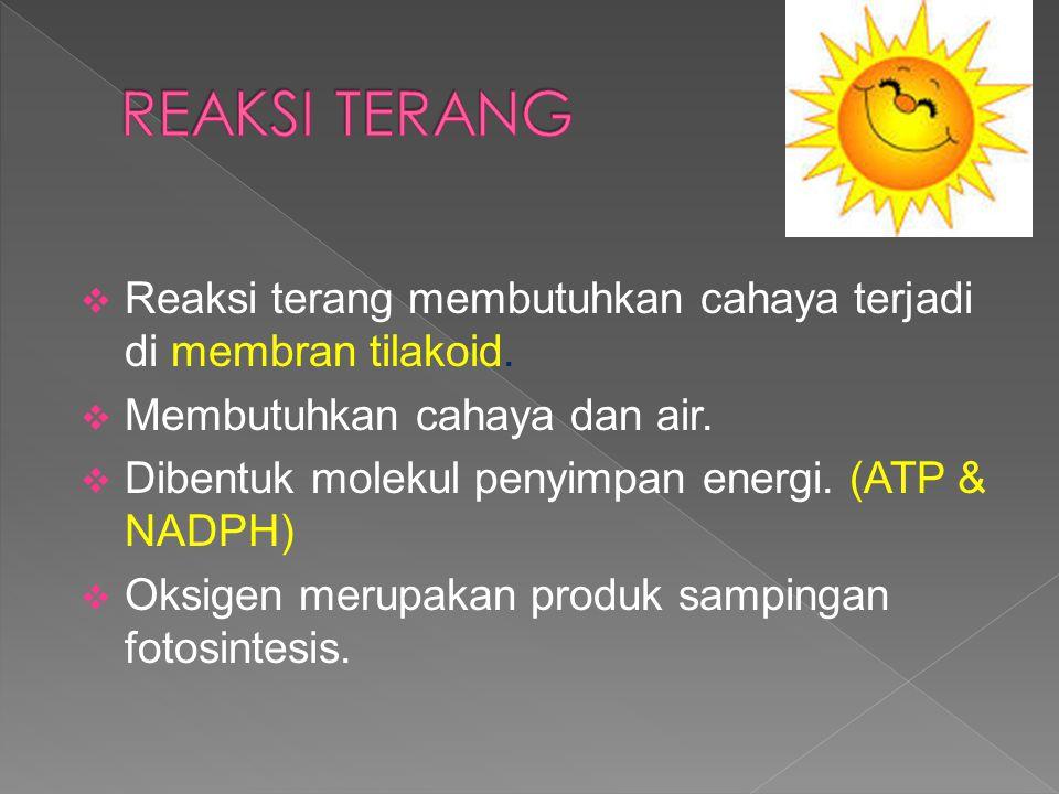  Reaksi terang membutuhkan cahaya terjadi di membran tilakoid.  Membutuhkan cahaya dan air.  Dibentuk molekul penyimpan energi. (ATP & NADPH)  Oks