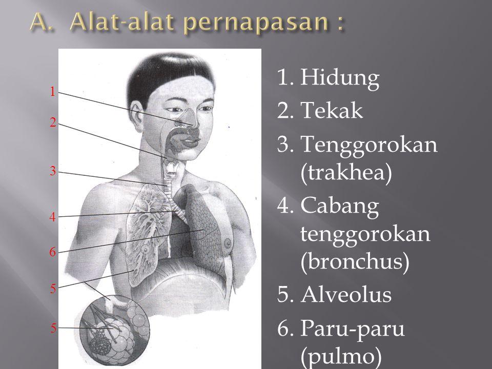 1. Hidung 2. Tekak 3. Tenggorokan (trakhea) 4. Cabang tenggorokan (bronchus) 5. Alveolus 6. Paru-paru (pulmo) 1 2 3 4 6 5 5