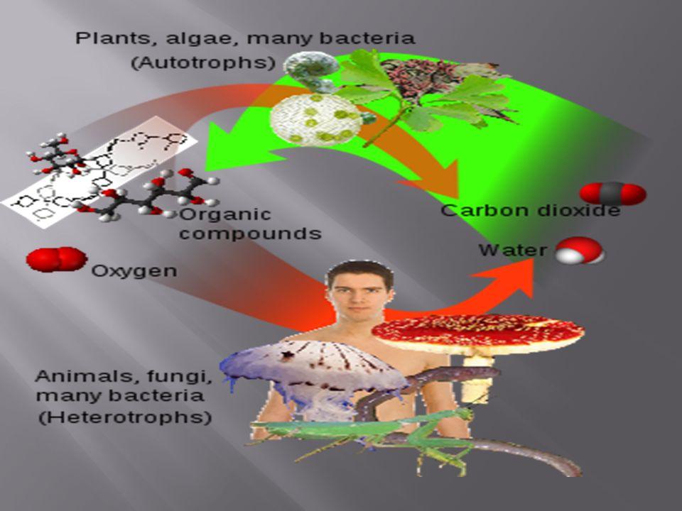 STRUKTUR KLOROPLAS Terdiri dari 2 lapis membran bagian dalam disebut membran.
