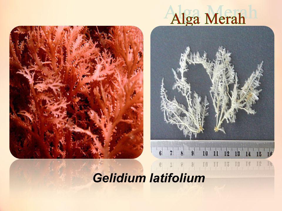 Gelidium latifolium