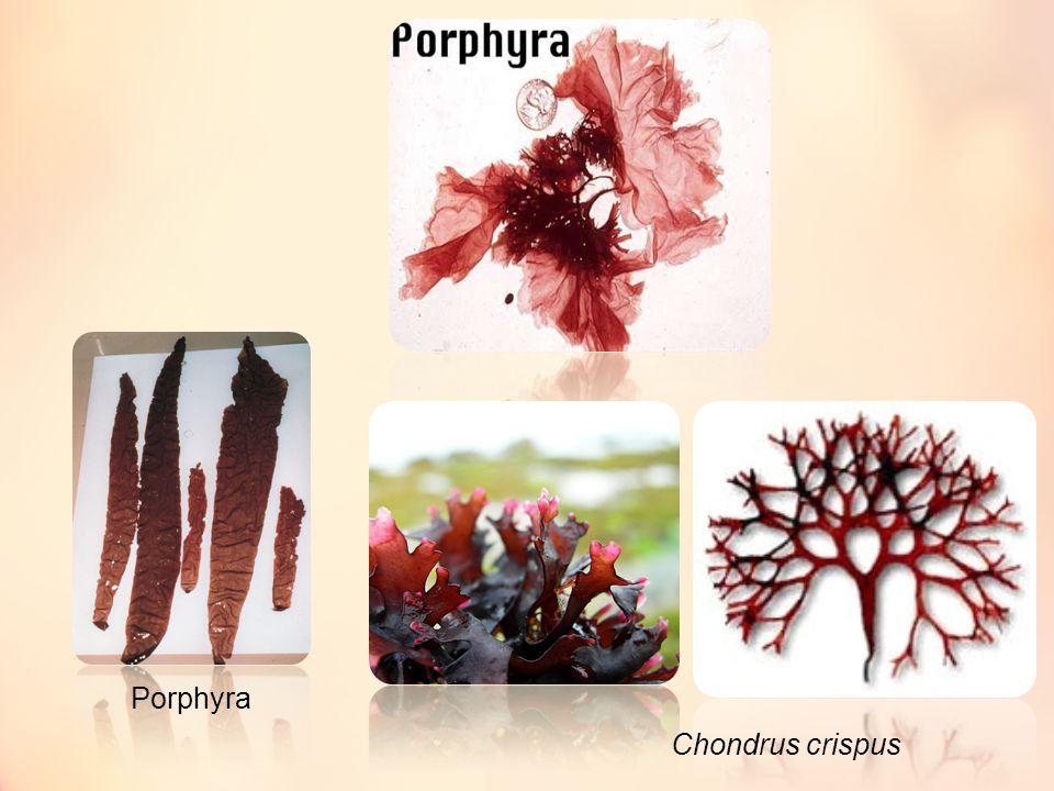 Chondrus crispus Porphyra