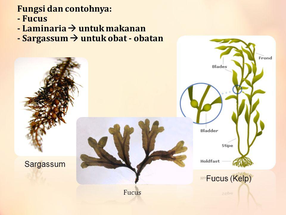 Fungsi dan contohnya: - Fucus - Laminaria  untuk makanan - Sargassum  untuk obat - obatan Fucus (Kelp) Sargassum Fucus