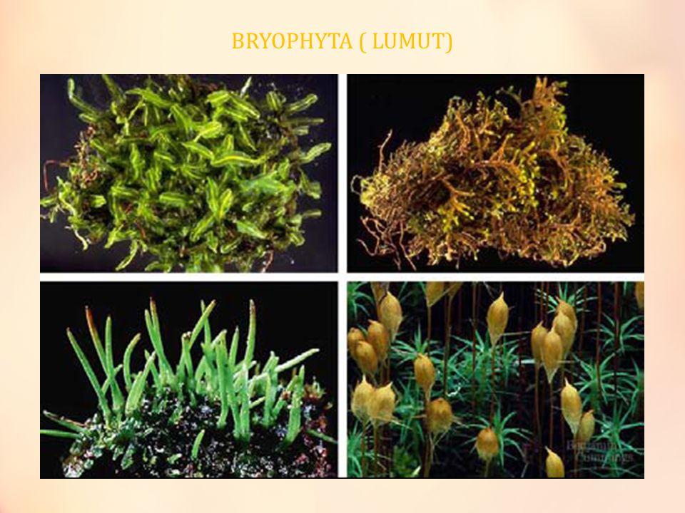 Bryophyta ( Lumut) Karakteristik Tumbuhan tidak berbunga dan tidak berpembuluh.
