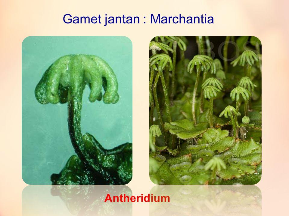 Gamet betina : Marchantia Arkegonium