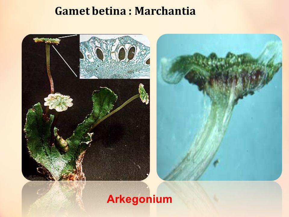 Lumut Daun (Musci) Filum tumbuhan tidak berpembuluh yg paling besar ( lebih dari 15.000 species) Contohnya: - Sphagnum  membantu keseuburan tanah - Polytrichum commune