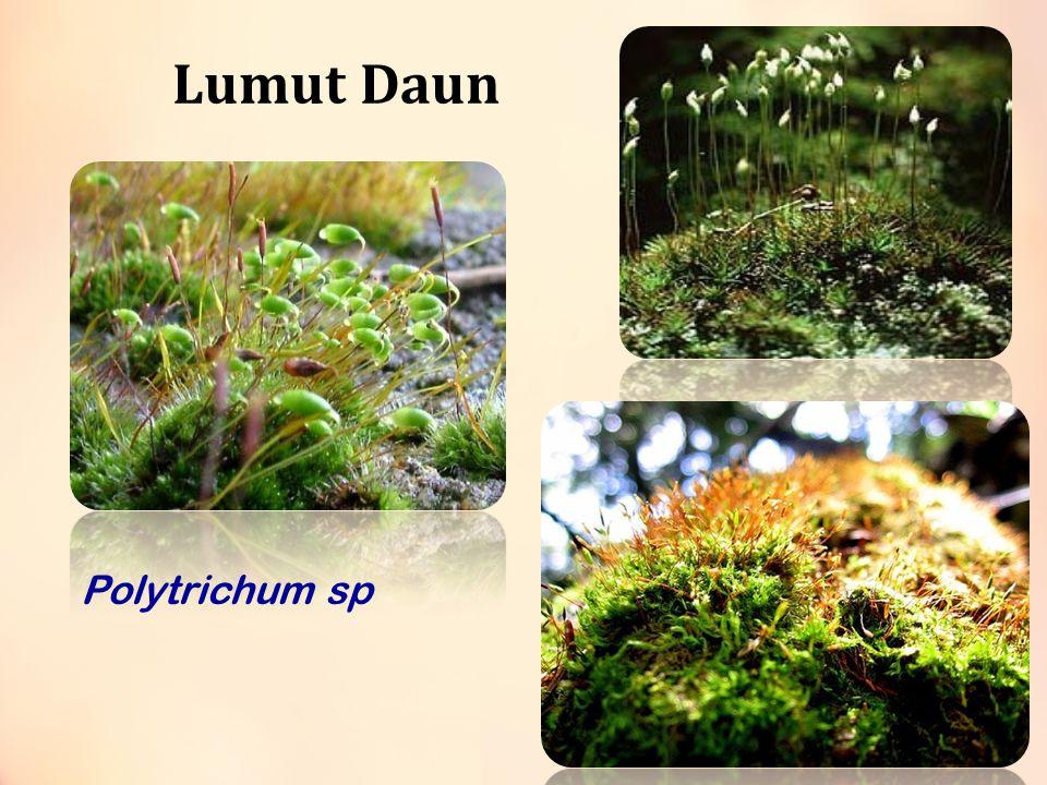 Sphagnum Colorful Sphagnum Sphagnum affine