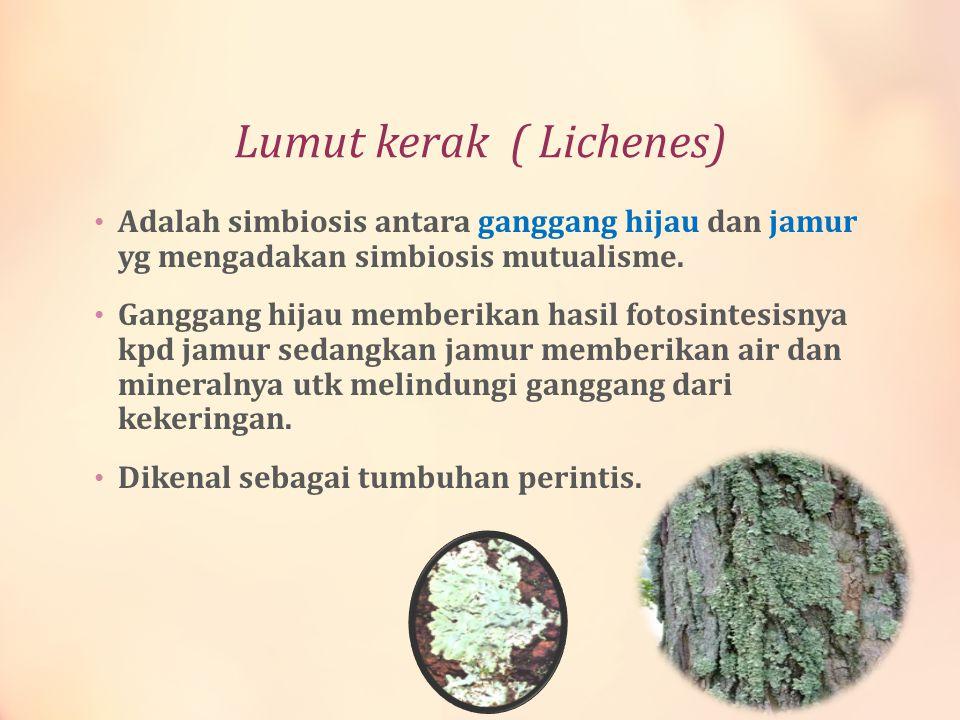 Lumut kerak ( Lichenes) Adalah simbiosis antara ganggang hijau dan jamur yg mengadakan simbiosis mutualisme. Ganggang hijau memberikan hasil fotosinte