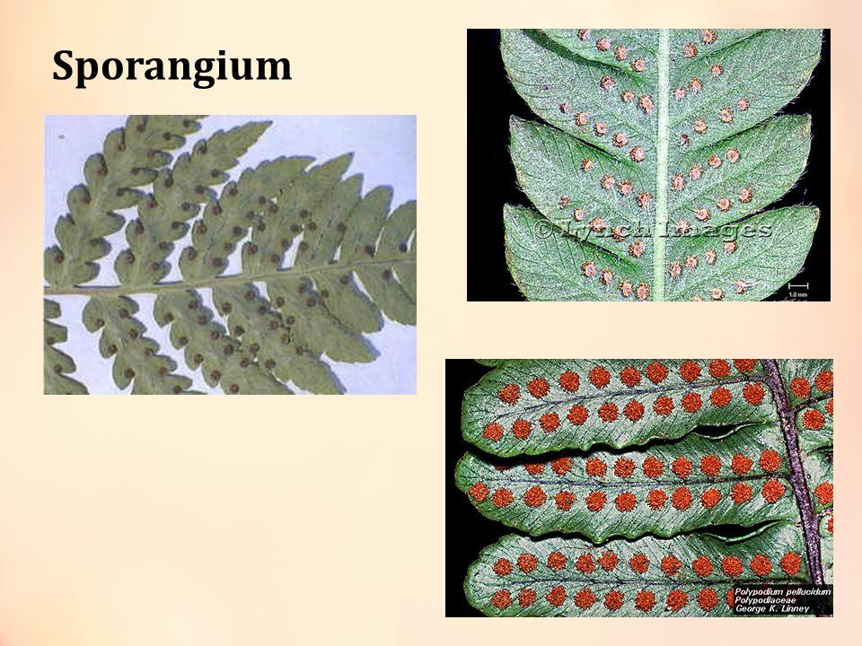 Metagenesis Tumbuhan Paku Spora Protalium ArkegoniumAnteridium Sel telur Zigot Paku muda Spermatid Spora