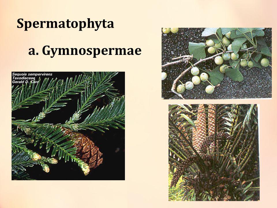 Angiospermae Tumbuhan berbiji tertutup karena bijinya dilindungi daging buah.