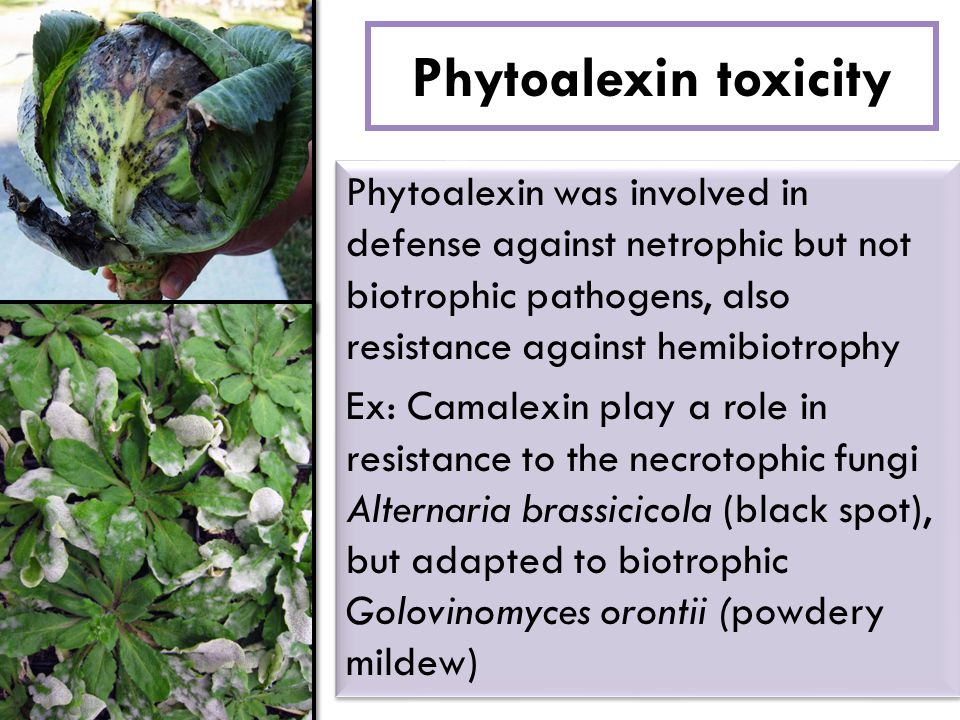 Phytoalexin toxicity Phytoalexin was involved in defense against netrophic but not biotrophic pathogens, also resistance against hemibiotrophy Ex: Cam