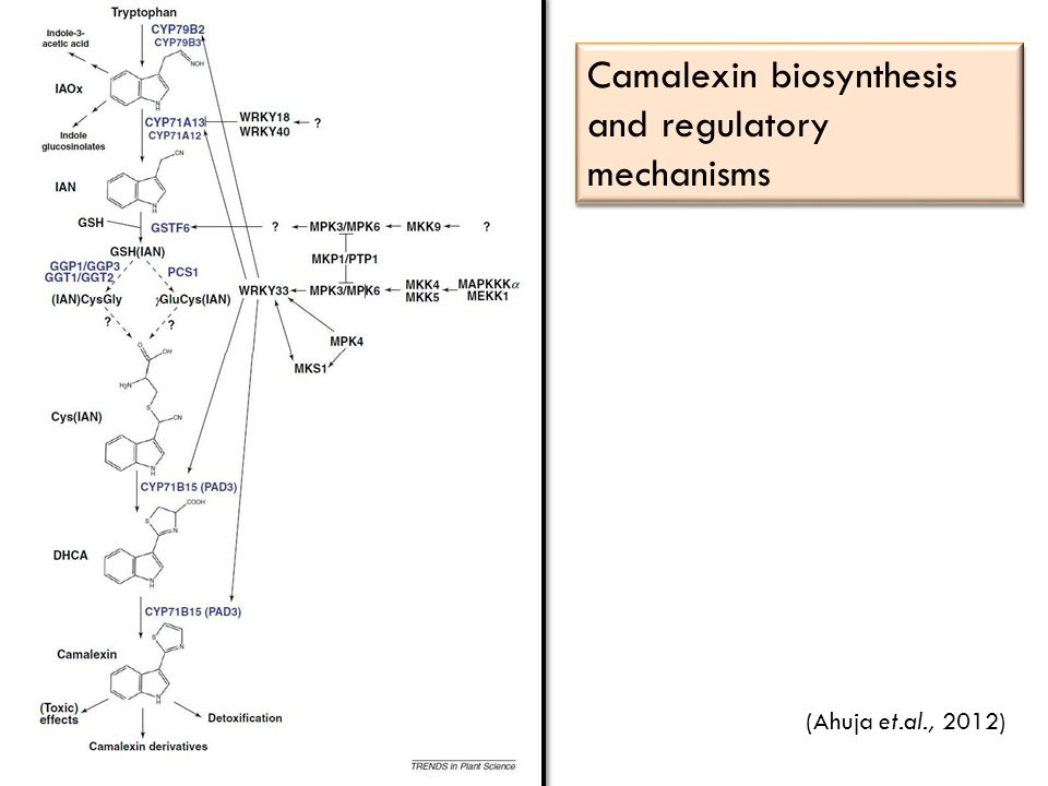 Camalexin biosynthesis and regulatory mechanisms (Ahuja et.al., 2012)