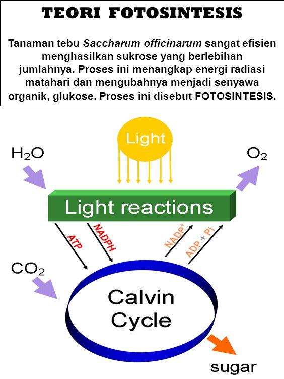 TEORI FOTOSINTESIS Tanaman tebu Saccharum officinarum sangat efisien menghasilkan sukrose yang berlebihan jumlahnya. Proses ini menangkap energi radia