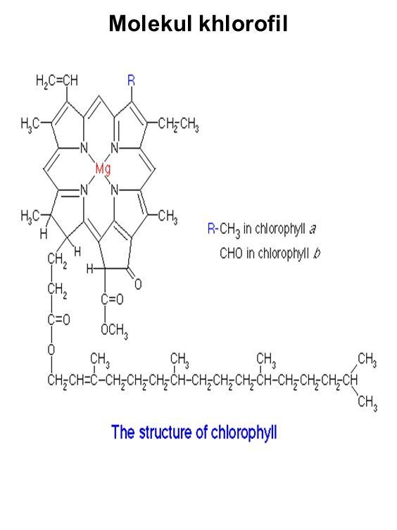 Molekul khlorofil
