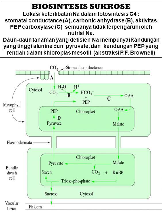 Lokasi keterlibatan Na dalam fotosintesis C4 : stomatal conductance (A), carbonic anhydrase (B), aktivitas PEP carboxylase (C) semuanya tidak terpenga
