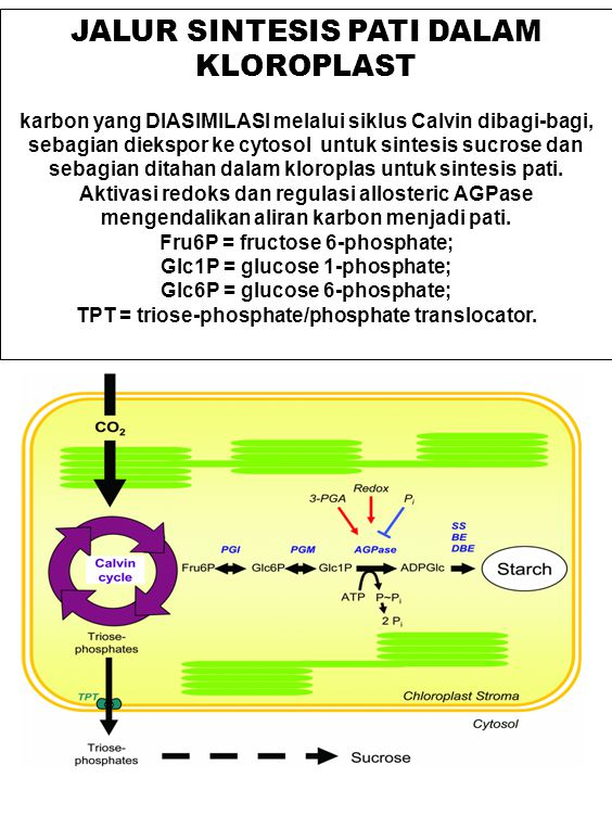 JALUR SINTESIS PATI DALAM KLOROPLAST karbon yang DIASIMILASI melalui siklus Calvin dibagi-bagi, sebagian diekspor ke cytosol untuk sintesis sucrose da