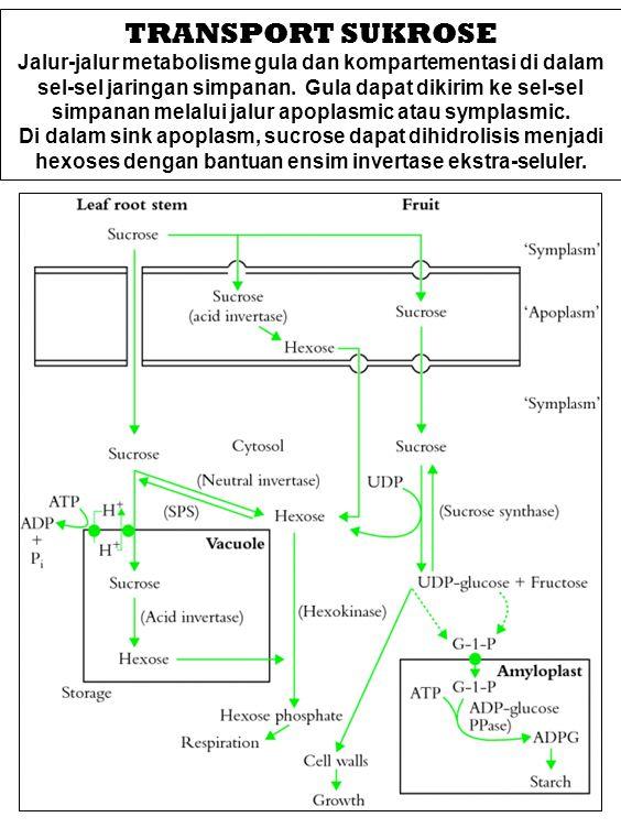 TRANSPORT SUKROSE Jalur-jalur metabolisme gula dan kompartementasi di dalam sel-sel jaringan simpanan. Gula dapat dikirim ke sel-sel simpanan melalui