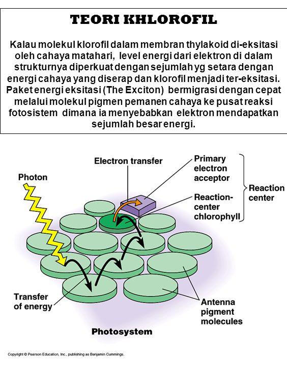 TEORI KHLOROFIL Kalau molekul klorofil dalam membran thylakoid di-eksitasi oleh cahaya matahari, level energi dari elektron di dalam strukturnya diper