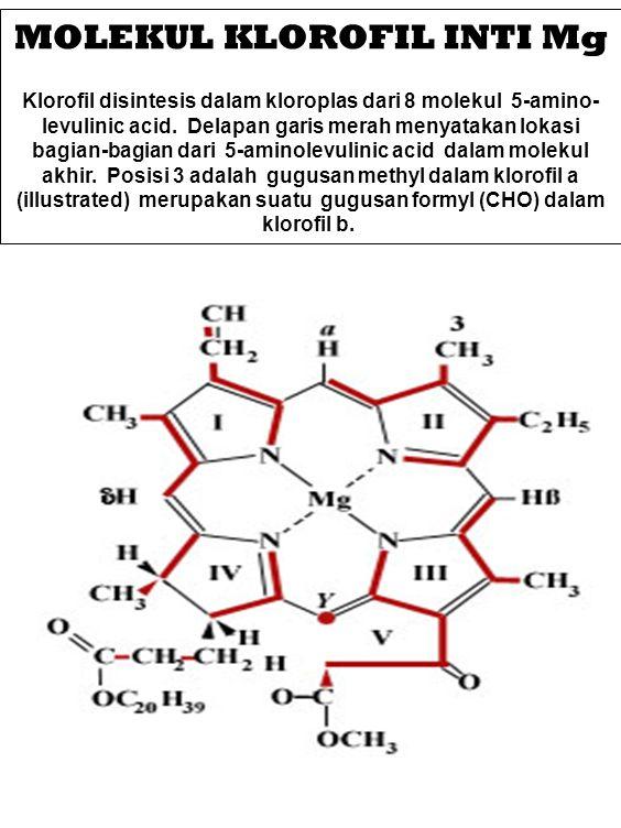 MOLEKUL KLOROFIL INTI Mg Klorofil disintesis dalam kloroplas dari 8 molekul 5-amino- levulinic acid. Delapan garis merah menyatakan lokasi bagian-bagi