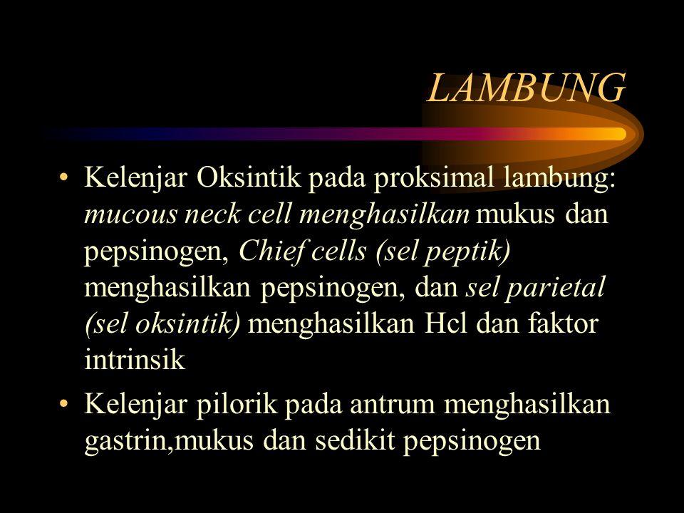 LAMBUNG Kelenjar Oksintik pada proksimal lambung: mucous neck cell menghasilkan mukus dan pepsinogen, Chief cells (sel peptik) menghasilkan pepsinogen