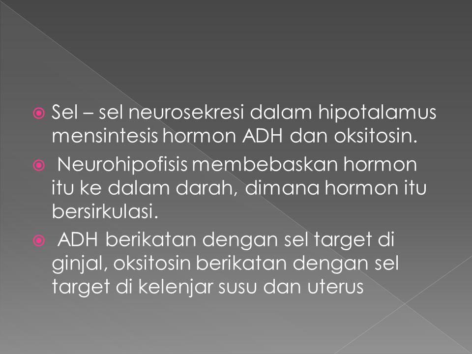  Sel – sel neurosekresi dalam hipotalamus mensintesis hormon ADH dan oksitosin.  Neurohipofisis membebaskan hormon itu ke dalam darah, dimana hormon