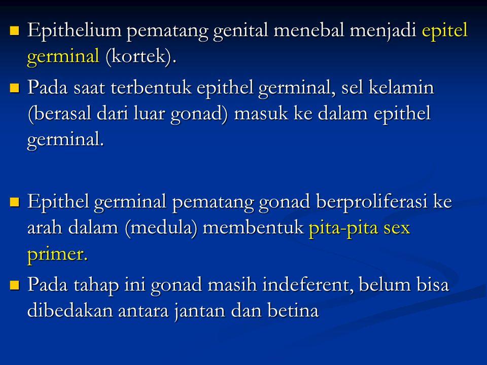 Epithelium pematang genital menebal menjadi epitel germinal (kortek). Epithelium pematang genital menebal menjadi epitel germinal (kortek). Pada saat