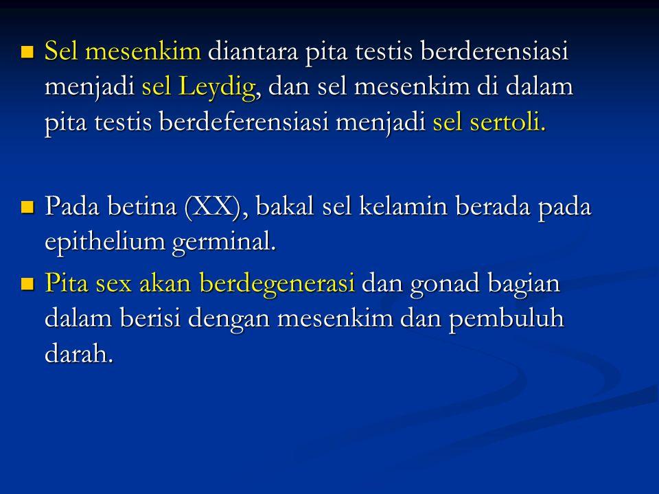 Sel mesenkim diantara pita testis berderensiasi menjadi sel Leydig, dan sel mesenkim di dalam pita testis berdeferensiasi menjadi sel sertoli. Sel mes