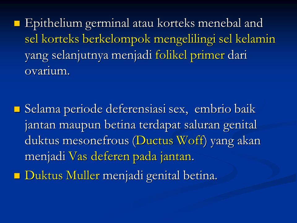 Epithelium germinal atau korteks menebal and sel korteks berkelompok mengelilingi sel kelamin yang selanjutnya menjadi folikel primer dari ovarium. Ep
