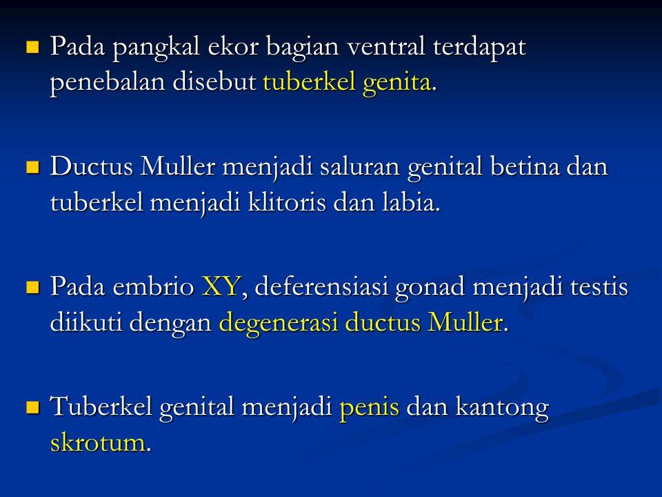Pada pangkal ekor bagian ventral terdapat penebalan disebut tuberkel genita. Pada pangkal ekor bagian ventral terdapat penebalan disebut tuberkel geni