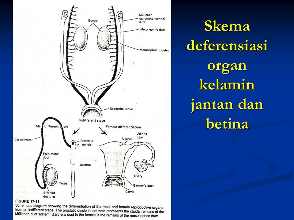Skema deferensiasi organ kelamin jantan dan betina