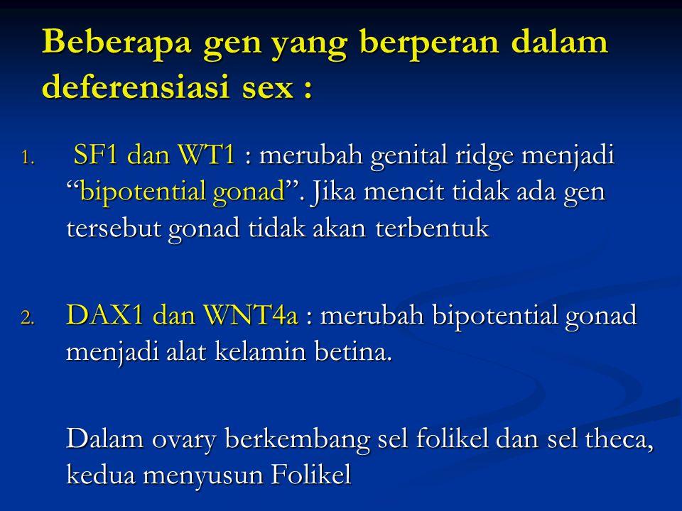 """Beberapa gen yang berperan dalam deferensiasi sex : 1. SF1 dan WT1 : merubah genital ridge menjadi """"bipotential gonad"""". Jika mencit tidak ada gen ters"""