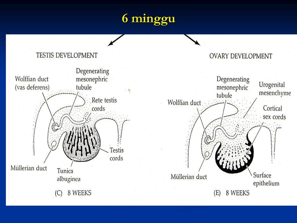 Pada mamalia testis akan berpindah (desendensi) dari rongga perut ke skrotum melalui canalis inguinalis, melalui proses penarikan oleh ligament inguinal (gabernakulum) Pada mamalia testis akan berpindah (desendensi) dari rongga perut ke skrotum melalui canalis inguinalis, melalui proses penarikan oleh ligament inguinal (gabernakulum)