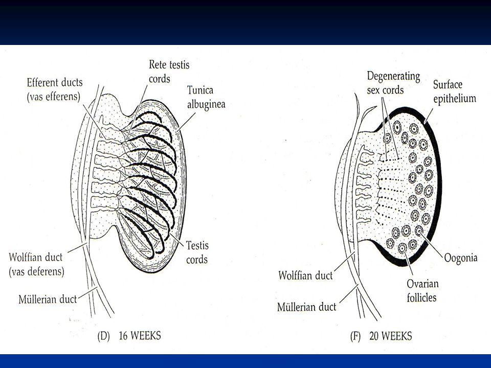 Testosteron dan dehidrotestosteron dependent region pada fetus manusia pria (Gb. 20.10)