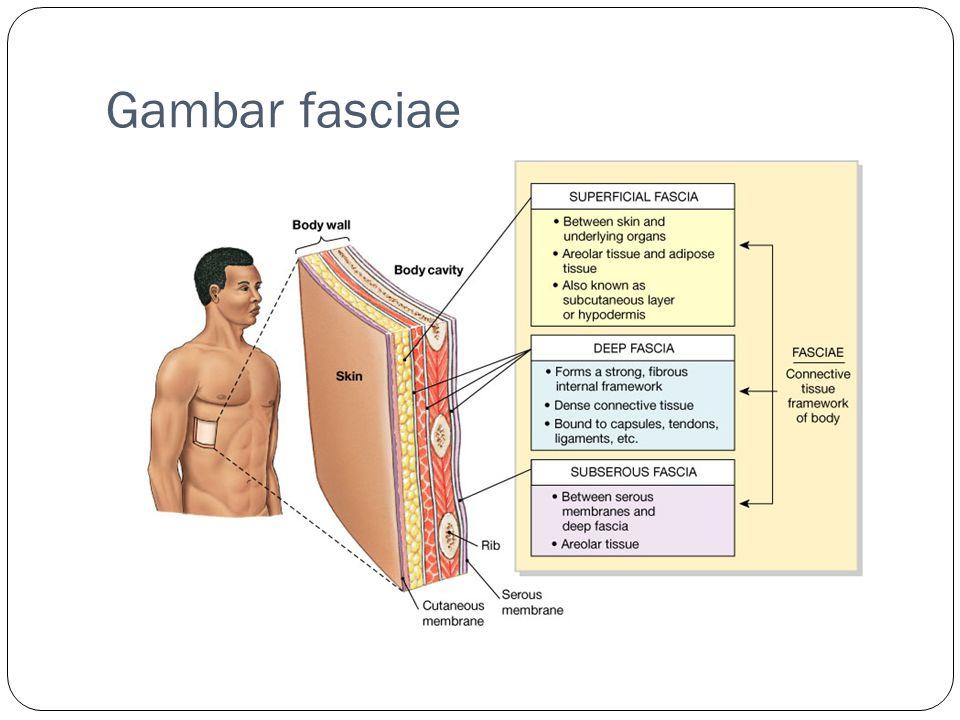Gambar fasciae