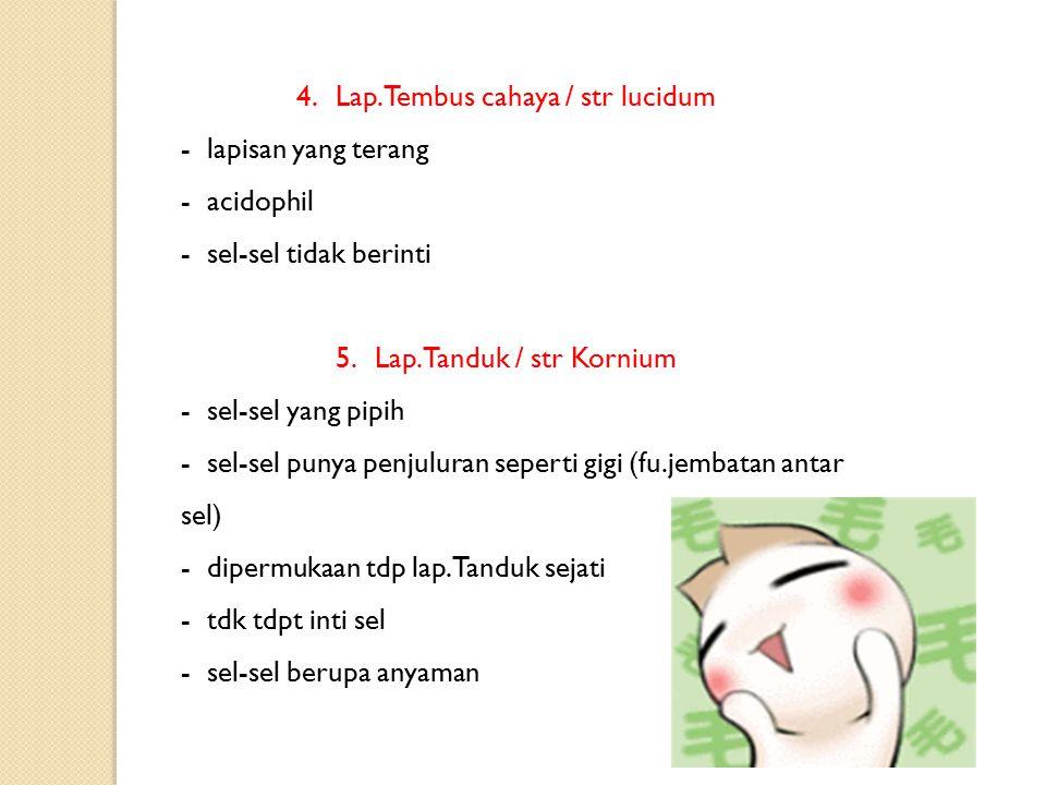 Epidermis (1%) 1.Lap. Profundal/stratum germinativum2 lap - str. LucidumLap. Tembus cahaya - lap. Tanduk 2.Lap. Superfisial / str. Corneum3 lap. - Lap