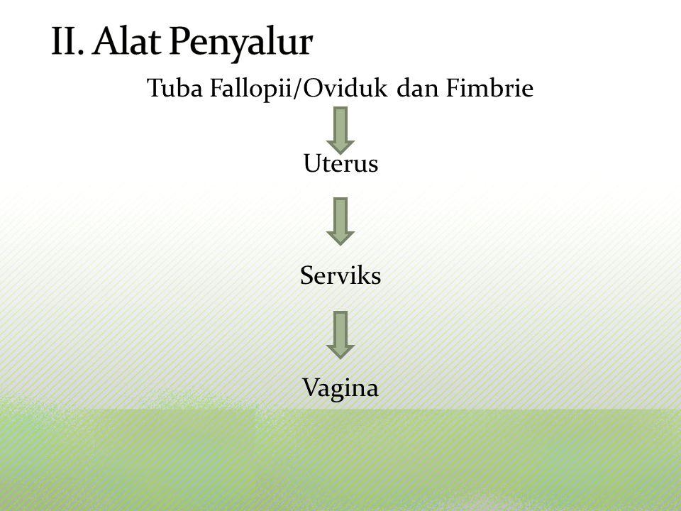 Tuba Fallopii/Oviduk dan Fimbrie Uterus Serviks Vagina