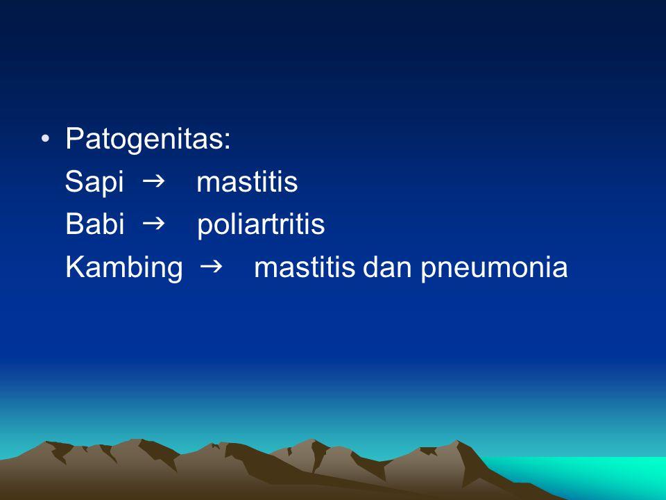 Patogenitas: Sapi  mastitis Babi  poliartritis Kambing  mastitis dan pneumonia