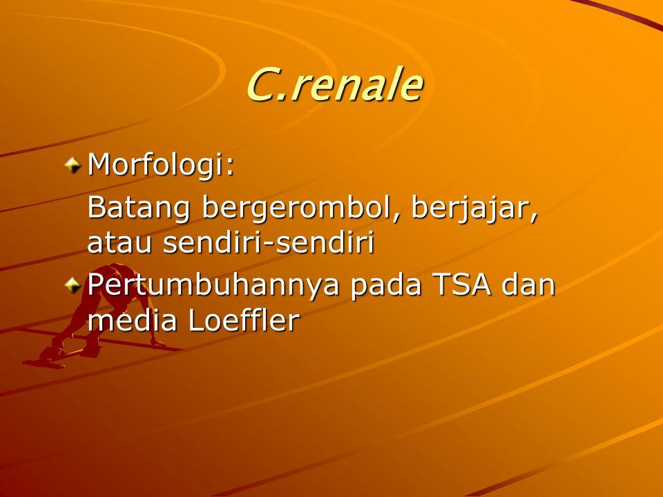 C.renale Morfologi: Batang bergerombol, berjajar, atau sendiri-sendiri Pertumbuhannya pada TSA dan media Loeffler