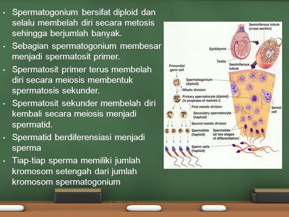 Spermatogonium bersifat diploid dan selalu membelah diri secara metosis sehingga berjumlah banyak. Sebagian spermatogonium membesar menjadi spermatosi