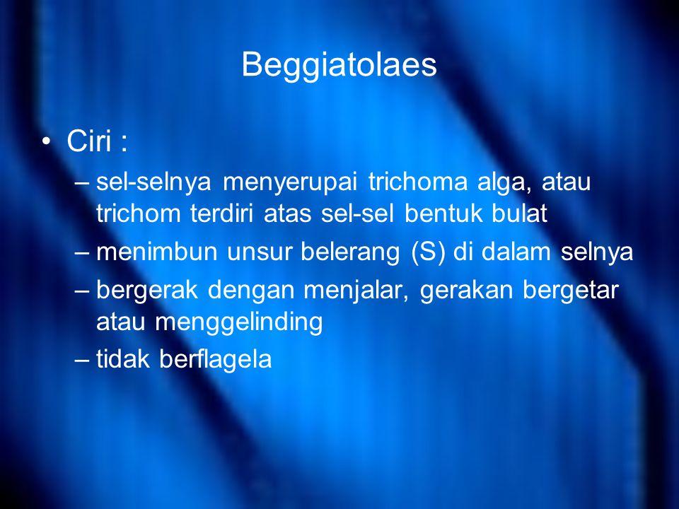 Beggiatolaes Ciri : –sel-selnya menyerupai trichoma alga, atau trichom terdiri atas sel-sel bentuk bulat –menimbun unsur belerang (S) di dalam selnya –bergerak dengan menjalar, gerakan bergetar atau menggelinding –tidak berflagela