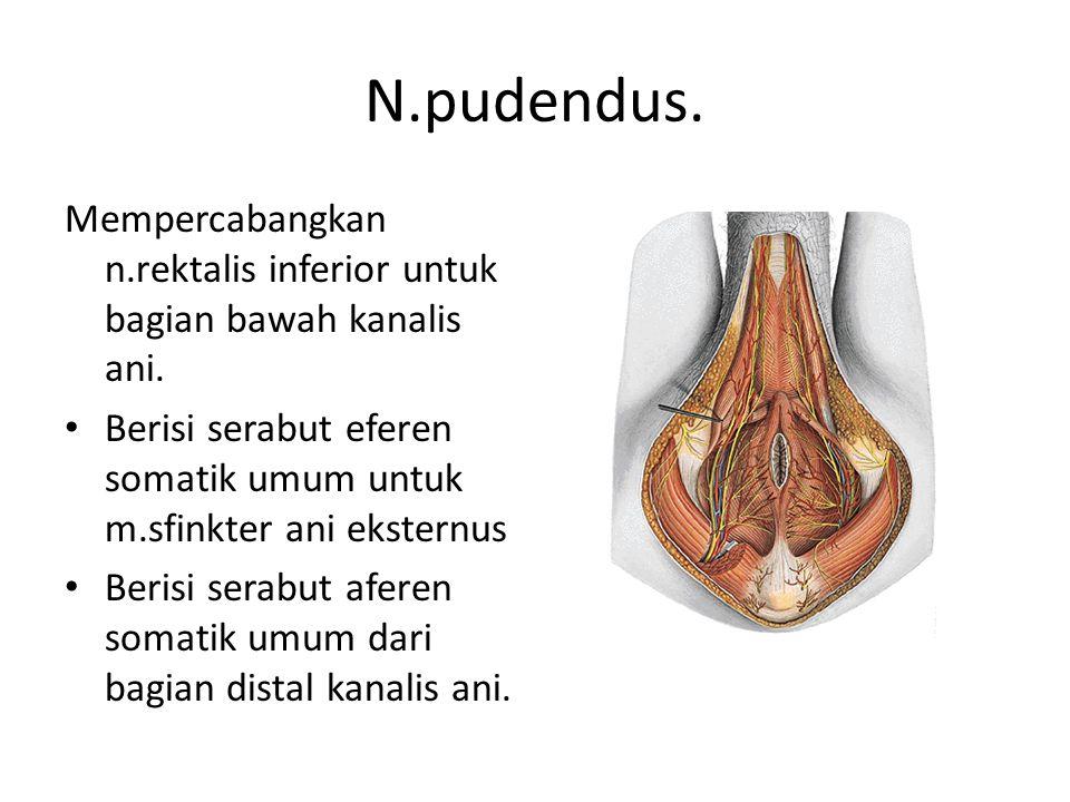 N.pudendus.Mempercabangkan n.rektalis inferior untuk bagian bawah kanalis ani.