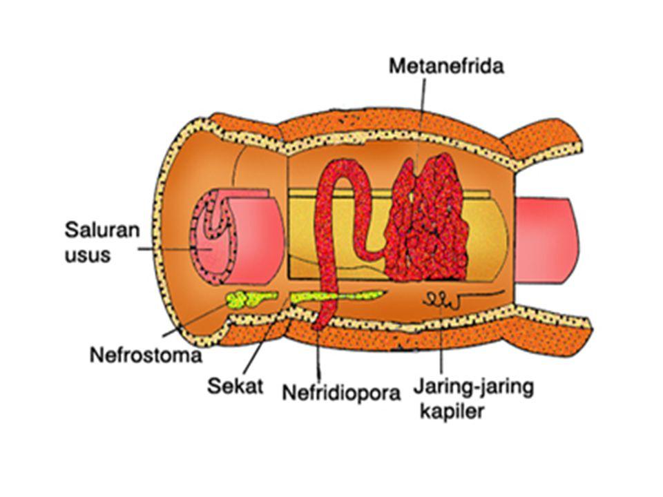 Setiap nefridium dilengkapi dengan corong terbuka ( nefrostoma ) pada setiap sekat ruas tubuh.
