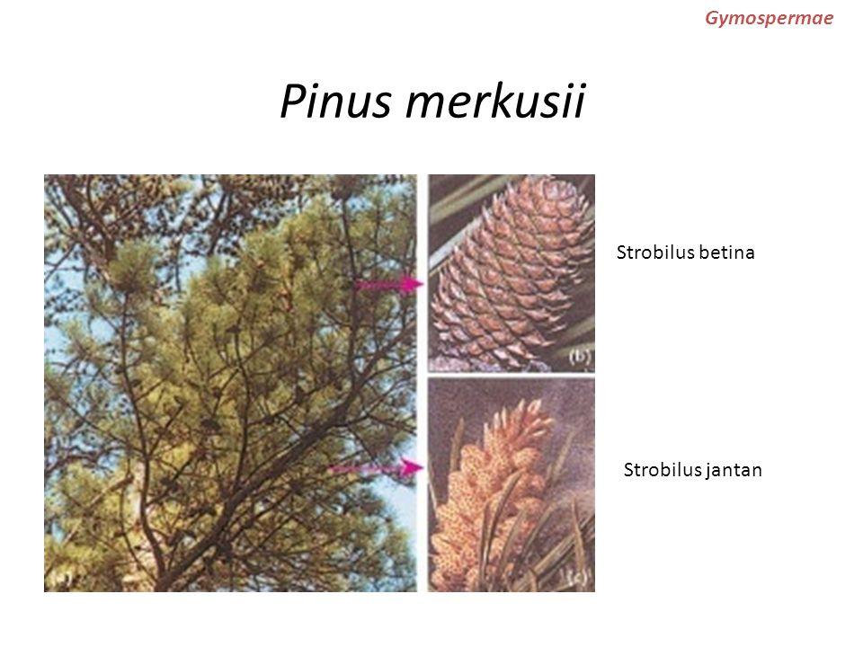 Pinus merkusii Strobilus betina Strobilus jantan Gymospermae
