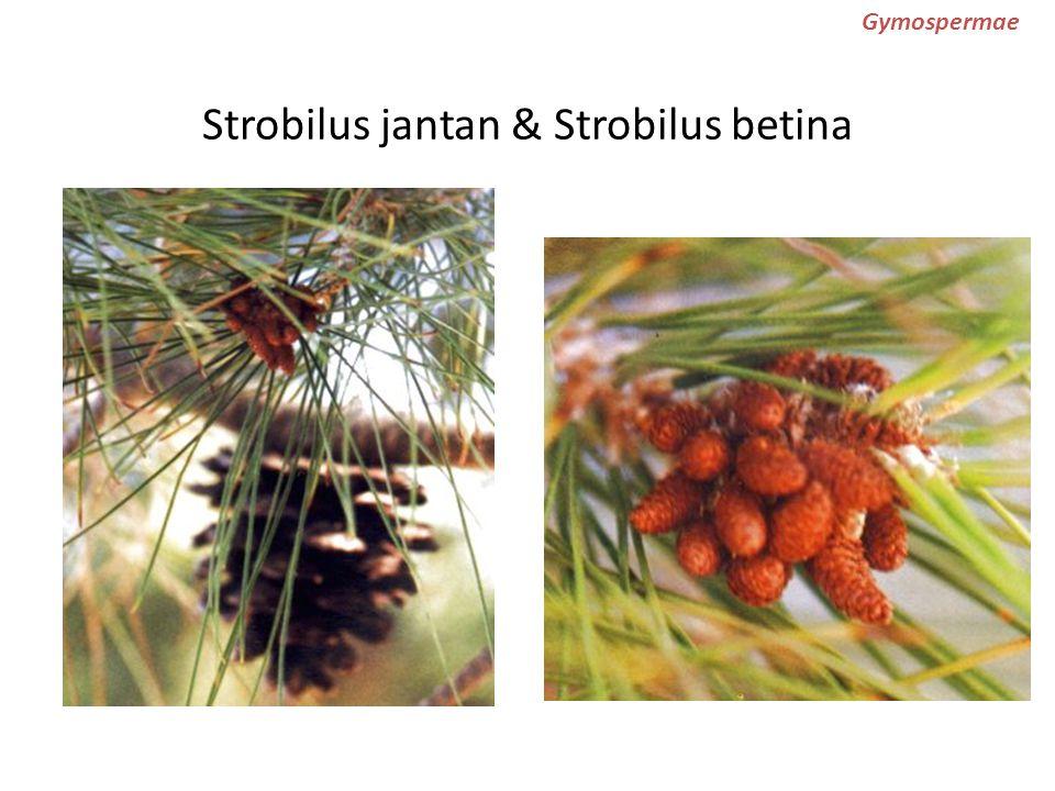Strobilus jantan & Strobilus betina Gymospermae