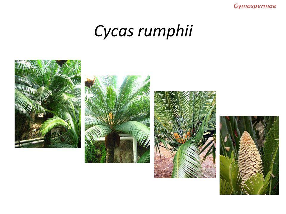 Cycas rumphii Gymospermae
