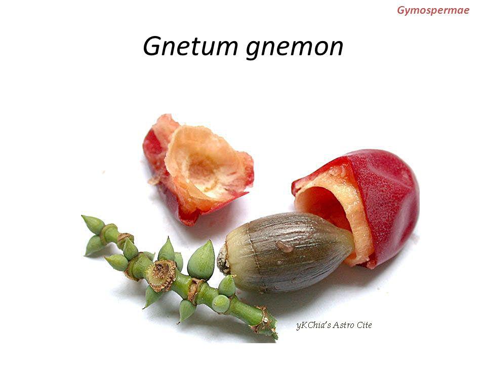 Gnetum gnemon Gymospermae